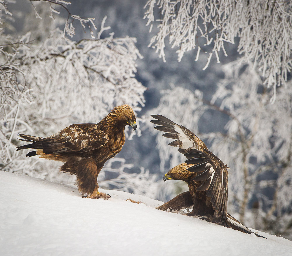 Golden Eagle hekte que significa Hook opp en espanol