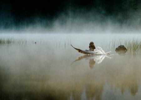 Fiskeørn