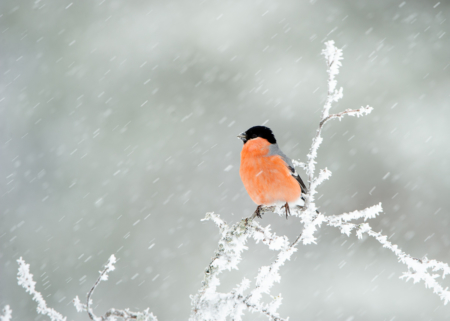 Dompap i snø